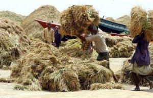 rice_stalks_after_rice_harvesting_lit