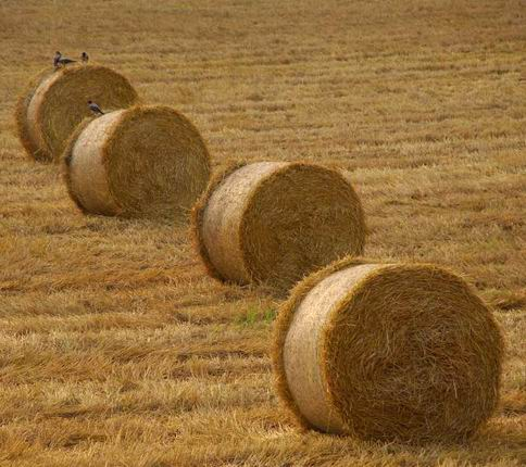 wheat_straw
